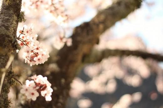 blossom-tree-2