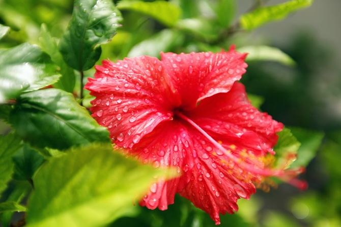 The Cherry Blossom Girl - Maldives 152