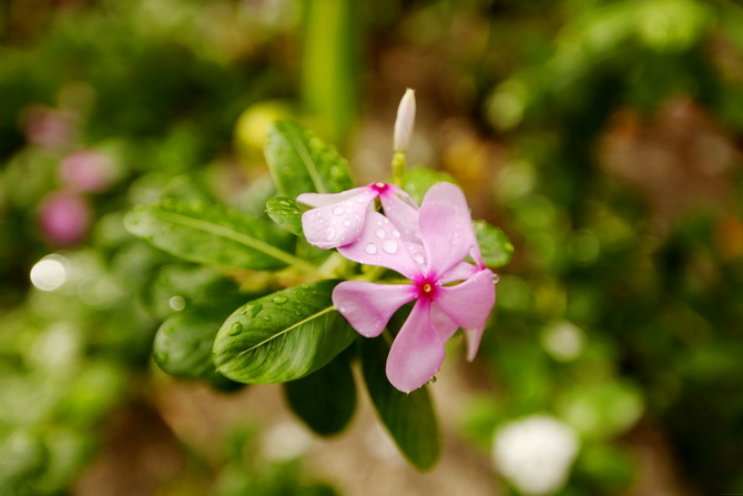 The Cherry Blossom Girl - Maldives 67