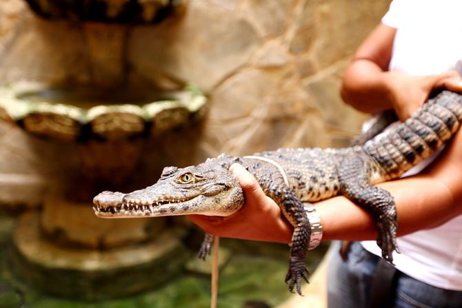 The Cherry Blossom Girl - Alligators 06
