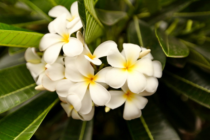 The Cherry Blossom Girl - Plumeria 02