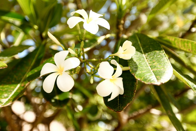 The Cherry Blossom Girl - Te Mana 06